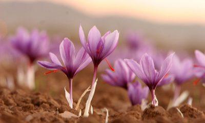 fiori di zafferano saffron